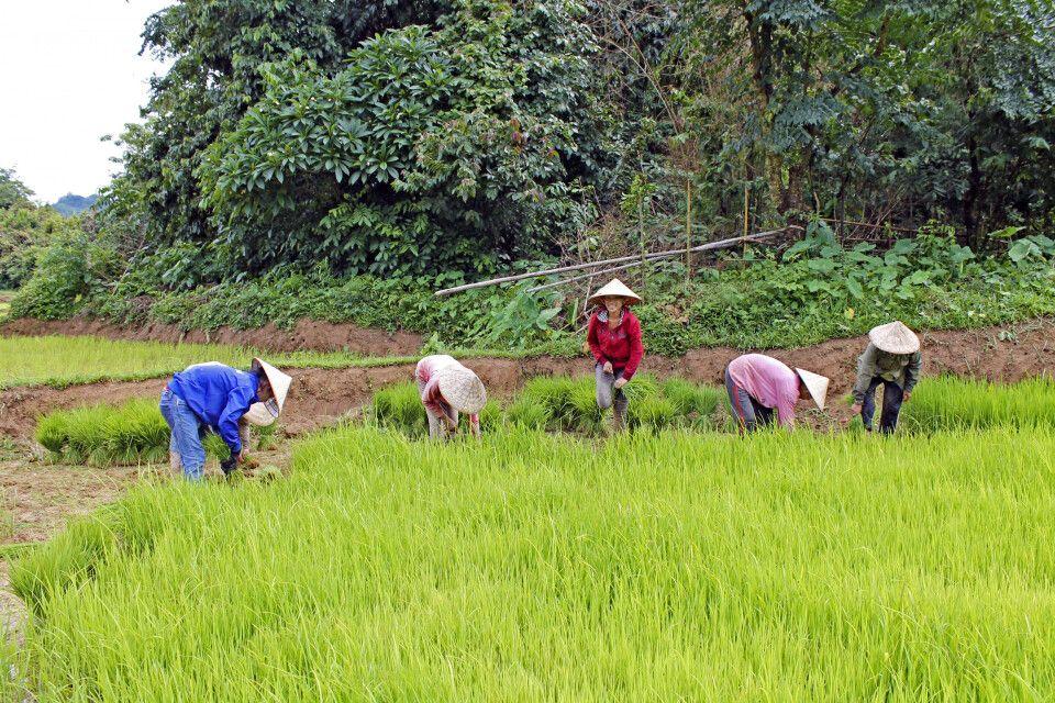 Reisbauern auf einem Feld