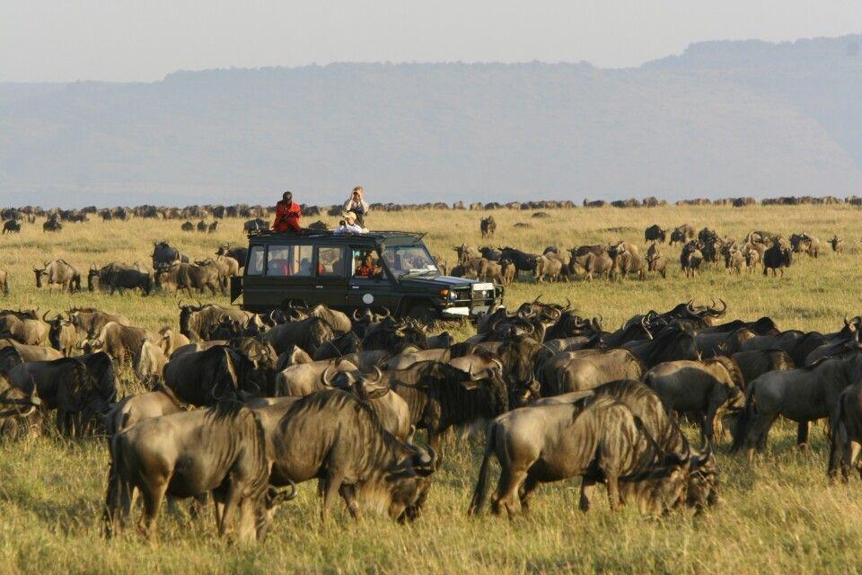 Die Große Migration bei einer Safari durch die Masai Mara