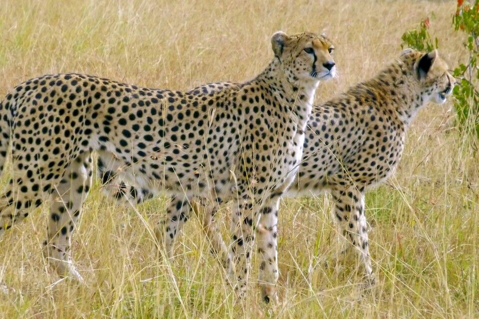 Geparden nahe des Naboisho Camps
