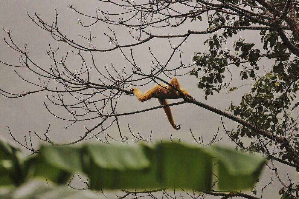 Gibbon im Cuc-Phuong-Nationalpark