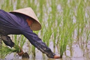 Auf dem Reisfeld in Vietnam