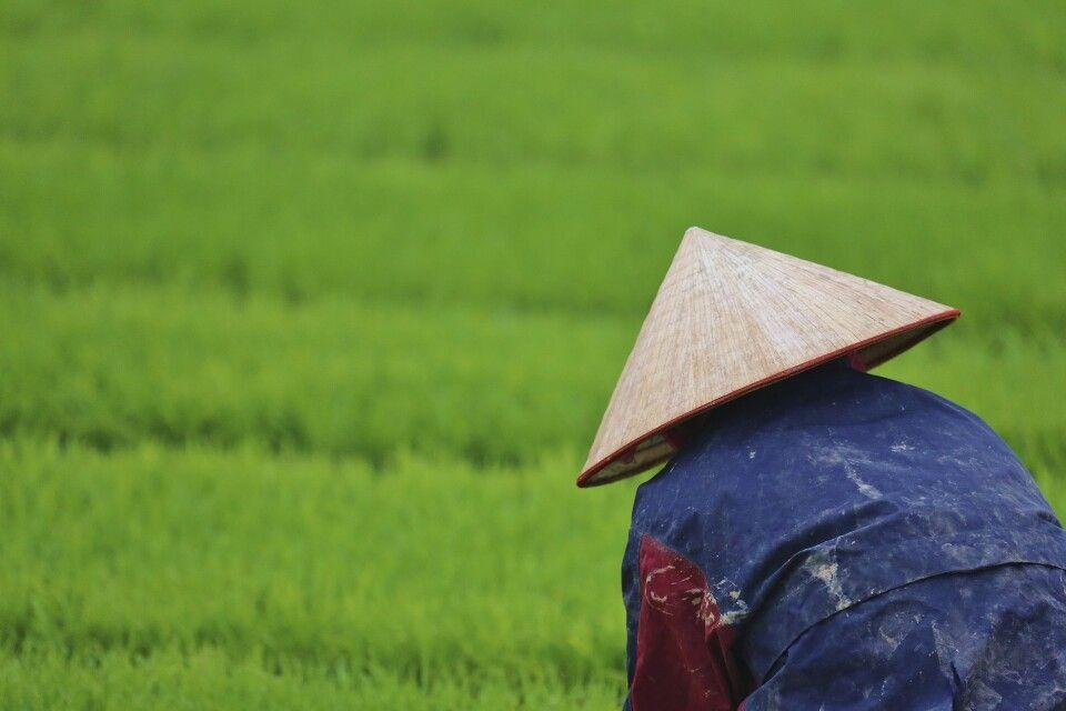 Auf Vietnams Reisfeldern