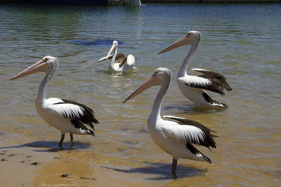 Eine Pelikanfamilie