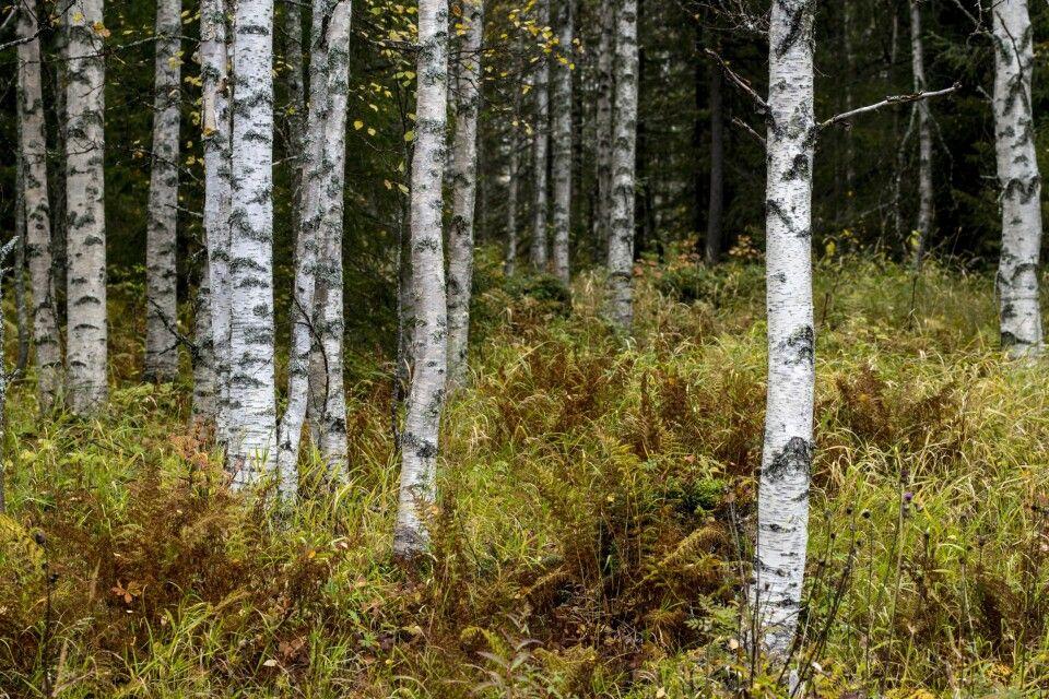 Herbstlich gefärbter Birkenwald