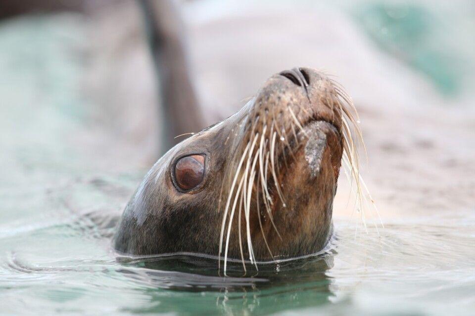Neugierig geworden? Ein aufgeweckter Seelöwe beobachtet gespannt unser Zodiakboot.