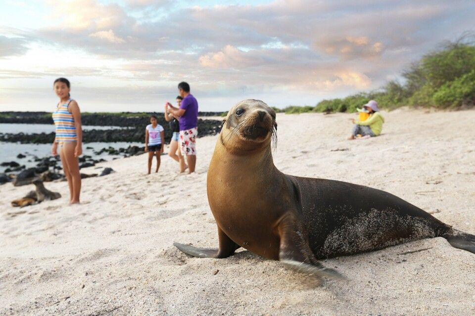 Seelöwen als Strandattraktion