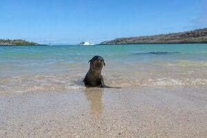 """Ein neugieriges Seelöwenbaby reckt sich vor dem Betrachter am Strand. Im Hintergrund das geankerte Schiff """"Archipel""""."""