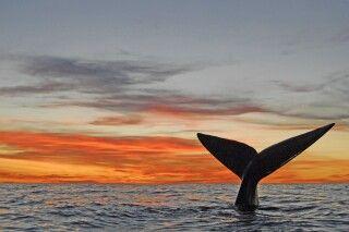 Walfluke im Sonnenuntergang