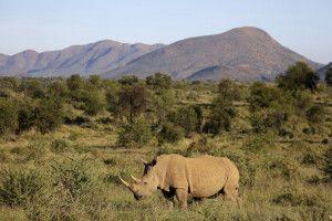 Nashorn auf Pirschfahrt auf GocheGanas