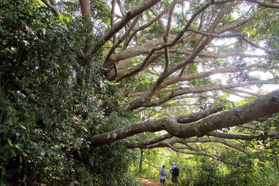 Leichte Wanderung in Myanmar vorbei an Baumgiganten