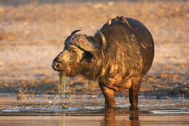 Wasserbüffel in Botswana