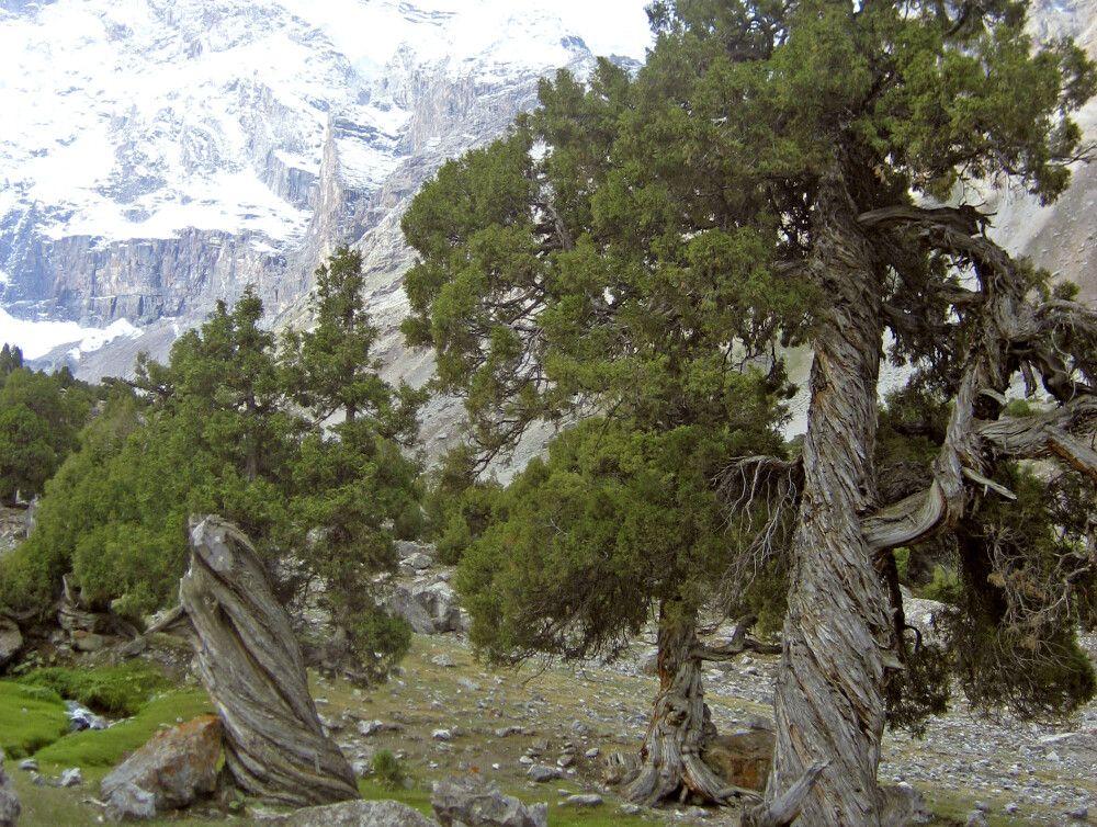 Unweit des 1. Camps wachsen Wacholderbäume