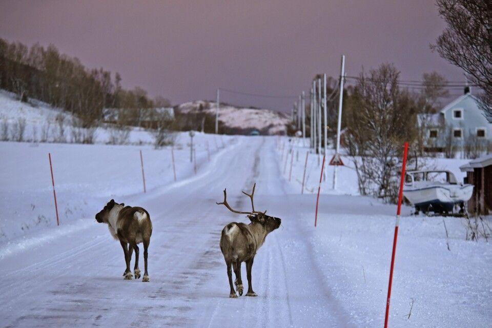 Andere Verkehrsteilnehmer in Norwegen: Rentiere