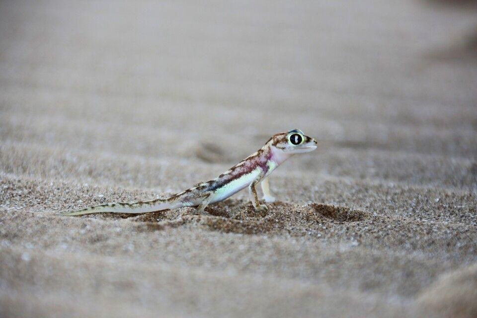 Putziger Gecko, Living Desert Tour