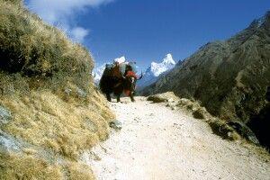 Yak im Everest-Gebiet mit Ama Dablam im Hintergrund