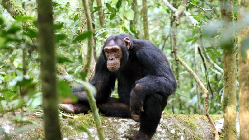 Schimpanse nachdenklich © Diamir