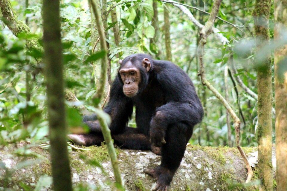 Schimpanse nachdenklich