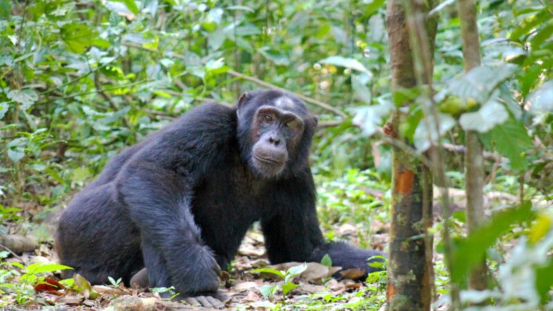 Relaxter Schimpanse © Diamir