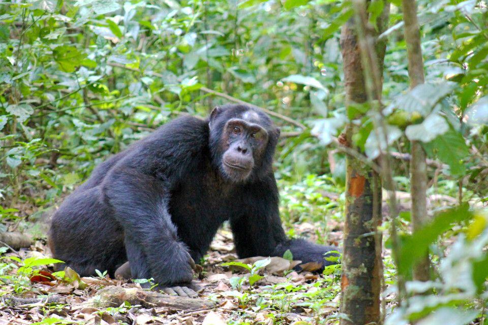 Relaxter Schimpanse