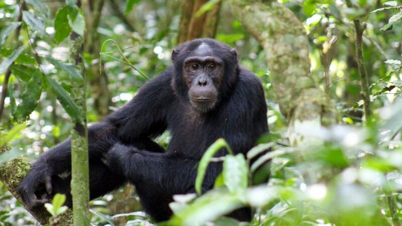 Schimpanse © Diamir
