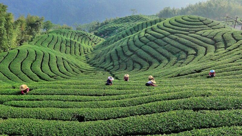 Teeplantage © Diamir