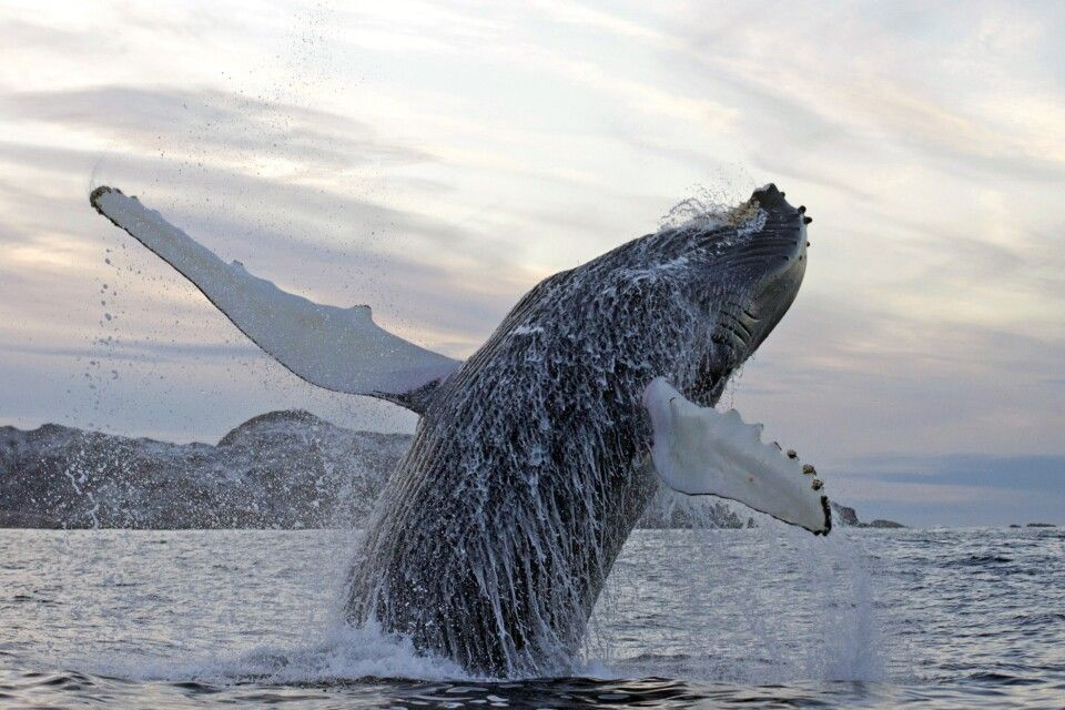 Springender Buckelwal aus unmittelbarer Nähe