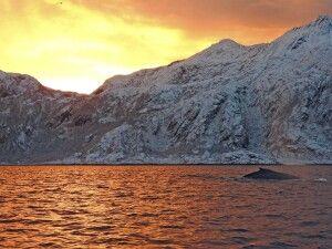 Wale im Fjord Abendlicht