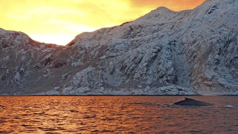 Wale im Fjord Abendlicht © Diamir
