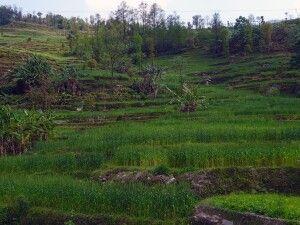 saftige Terassenfelder am Melamchi Khola