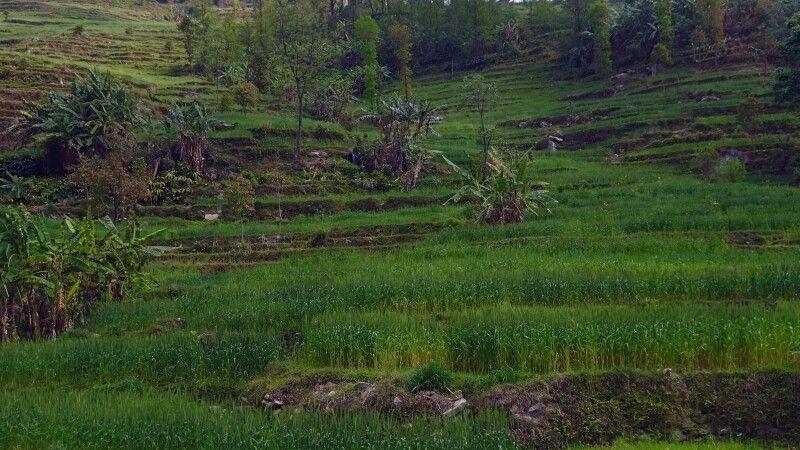 saftige Terassenfelder am Melamchi Khola © Diamir