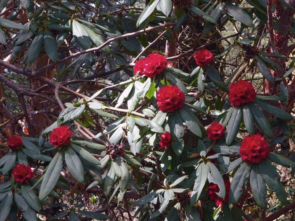Frühjahrsblüte der Rhododendren