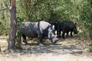 Nashörner im ZIWA-Schutzgebiet