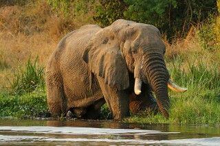 Elefant am Wasser im Murchison Falls NP