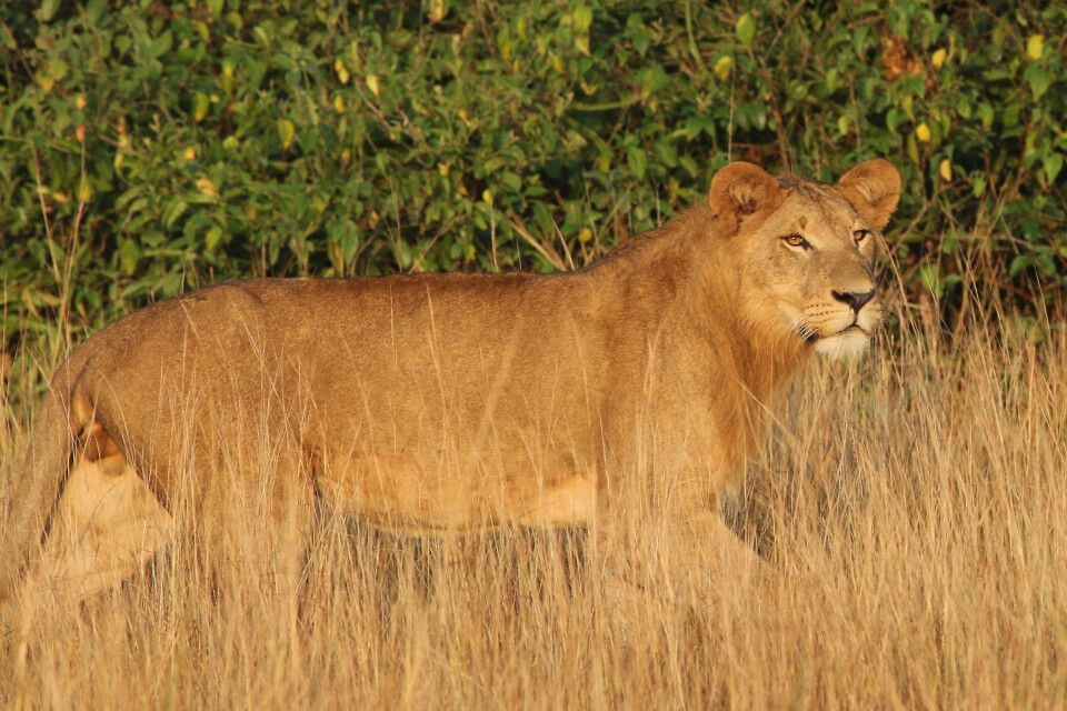 Junges Löwenmännchen
