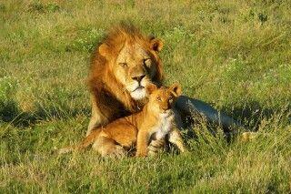 Löwenmännchen mit Jungtier
