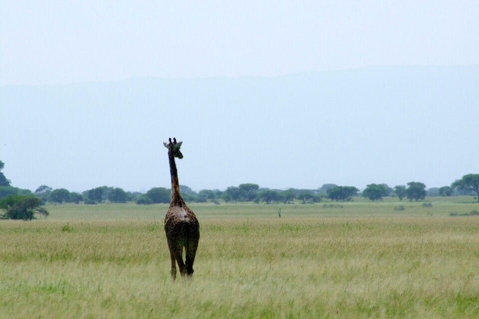 TANKOF2_060216_4FMU_Giraffe_im_Tarangire_NP.jpg