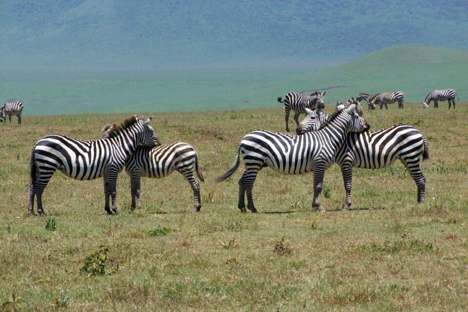 TANKOF2_060216_4FMU_Zebraherde_im_Ngorongoro_Krater.jpg