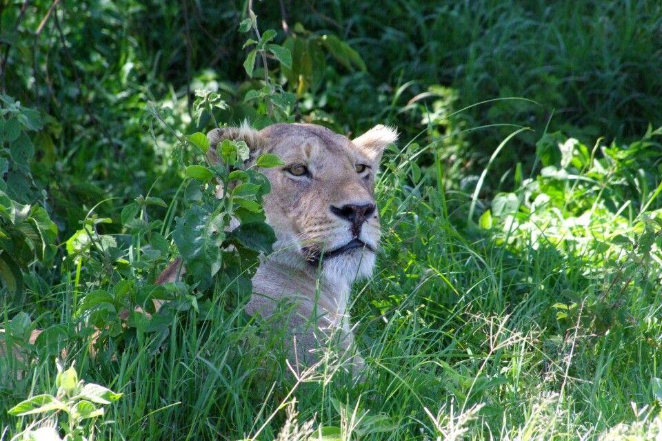 TANKOF2_060216_4FMU_Loewin_bei_der_Mittagsruhe_im_Ngorongoro.jpg