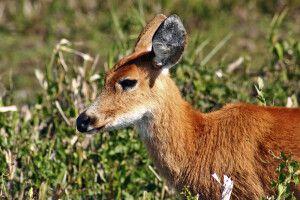 Hirsch im Ibera-Sumpfgebiet