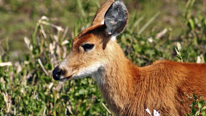 Hirsch im Ibera-Sumpfgebiet © Diamir