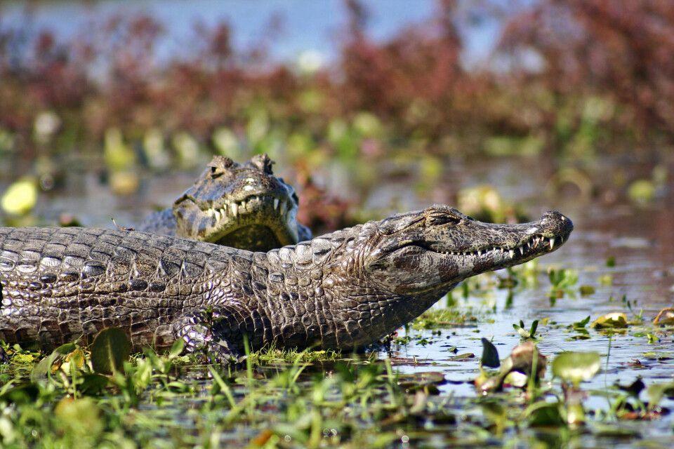 Kaimane im Ibera-Sumpfgebiet