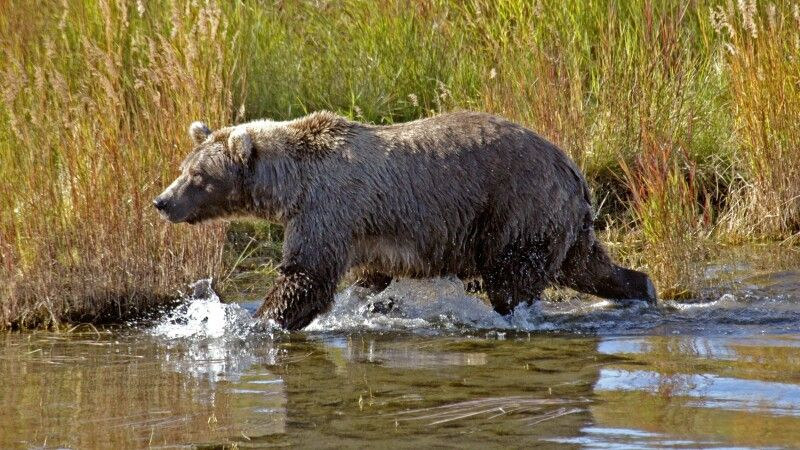 Grizzly streift am Flussufer entlang © Diamir