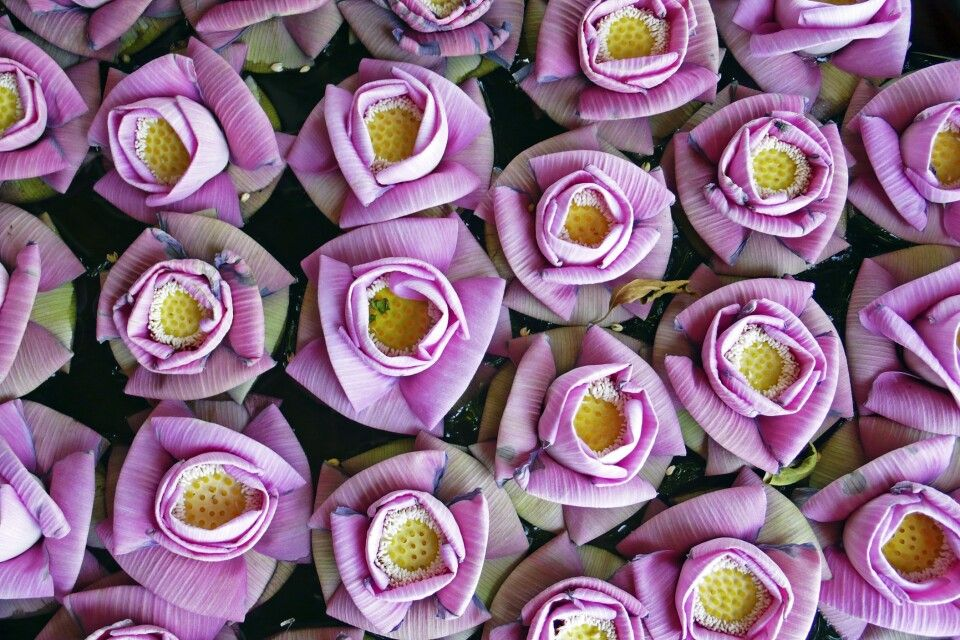 Lotosblüten am Eingang