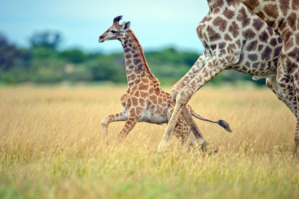 Giraffenlauf