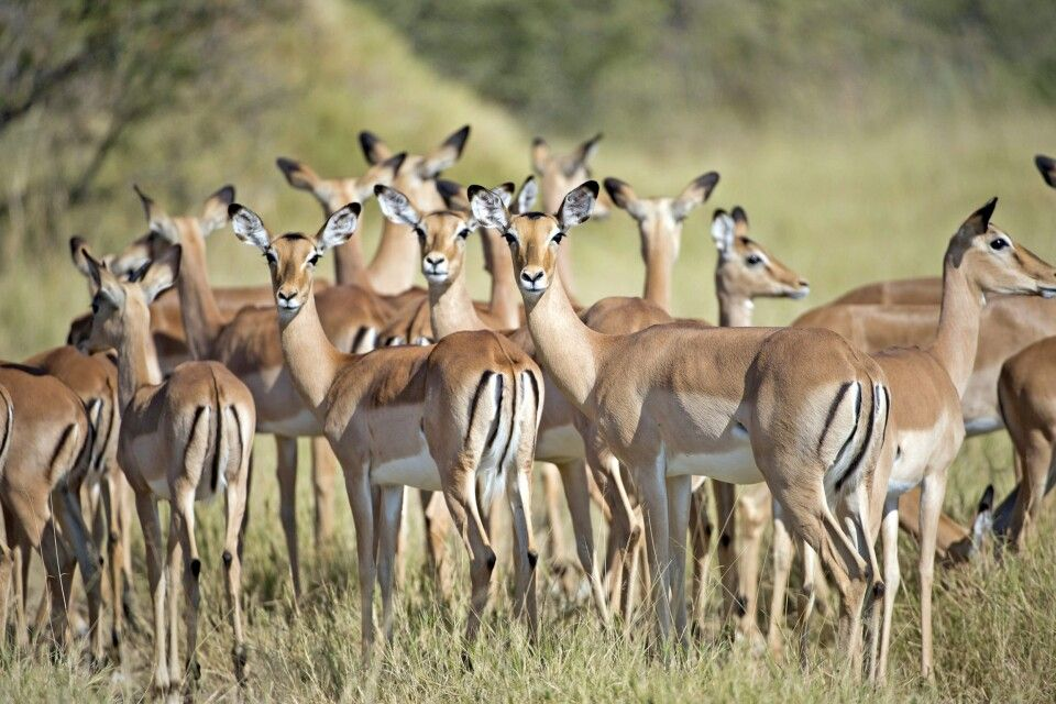 Impalas im Moremi