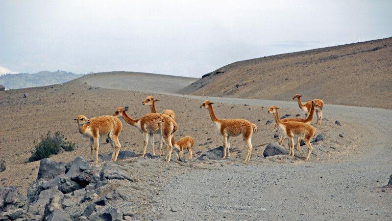 Vicuñas am Chimborazo © Diamir