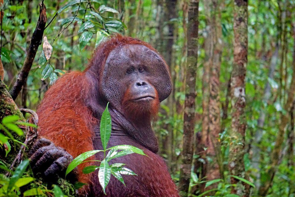Roger – Orang-Utan-Männchen in Tanjung Harapan