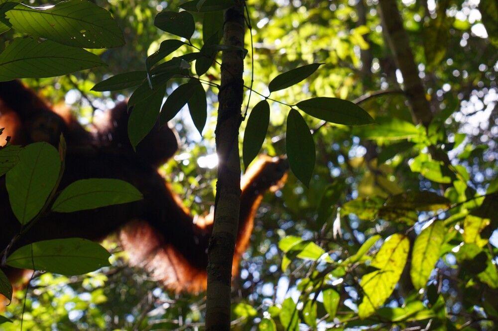Orang-Utan im Dschungel bei Pondok Tanguy