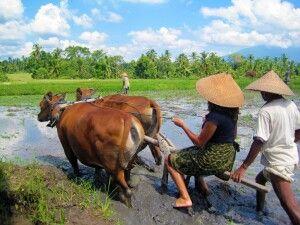 Bauern von Taman Sari Buana bei der Arbeit
