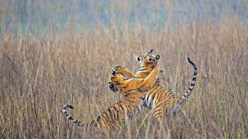 bengalische Königstiger © Diamir